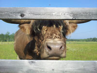 Herd Dispersal - 8 Scottish Highland Beef Cattle