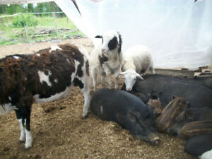 Lamb and butcher pigs for sale