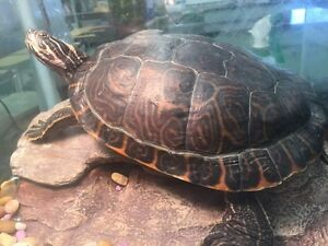 Free turtle with tank purchase Strathcona County Edmonton Area image 1