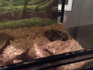 2 royal ball pythons snakes and tank for sale