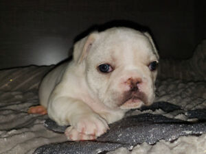 Frenchton Puppies ( Blue & Cream Males)