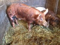 BOARS FOR SALE Tamworth, york, berkshire crosses