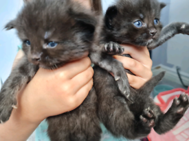 BEAUTIFUL Ragdoll/BSH X Kittens *2 GIRLS LEFT*