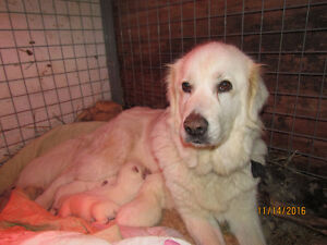 Maremma LGD pups from Working Parents
