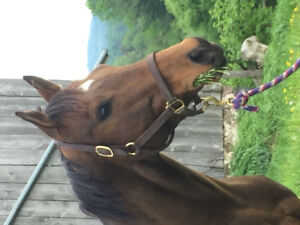 Sporty OTTB gelding for sale