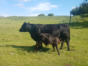 Angus Cow/calf pairs for sale.