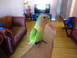 100% handfed Opaline Lovebirds...very friendly and tame...1 left