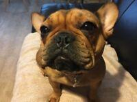 French Bulldog Girl 1 year old