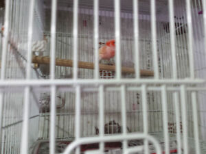 Mosaic canaries for sale Windsor Region Ontario image 1