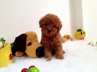 2 RED TOY POODLE GIRLS