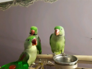 Wanted - Adult Female Alexandrine Parrot