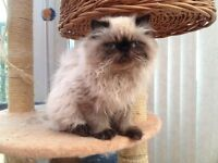 Himalayan ColourPoint Persian Kitten, full pedigree.