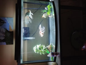 46 gallon tank with filter and 2 large fancy tail goldfish