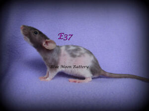 Hairless Female Rat - 6 weeks old