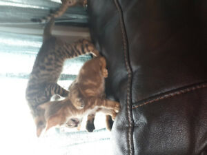 3 purrfect fur Bengal babies left
