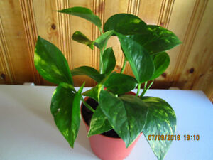 "Golden Pothos ""Marble Queen"" - Air Purifying"