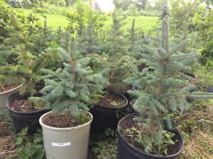 Blue Spruce trees. Blue/green colour. $12