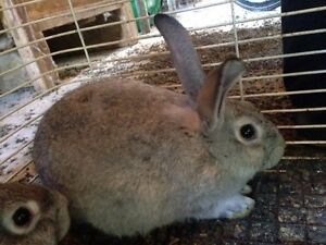 Flemish Giant Cross For Sale