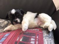 Lhasa apso puppy 🐶