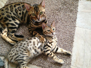 Bengal cat : reserved now your kitten Gatineau Ottawa / Gatineau Area image 10
