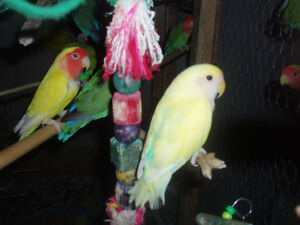 LOVEBIRDS FOR SALE NEW BABIES READY TO HAND FEED Sarnia Sarnia Area image 2