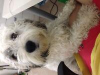 Adorable Mixed Breed Shih Tzu - Cocker Spaniel dog for Adoption