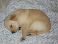Golden / English White Retriever Puppies