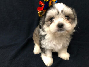 Chichua Poodle Maltese XX Puppies
