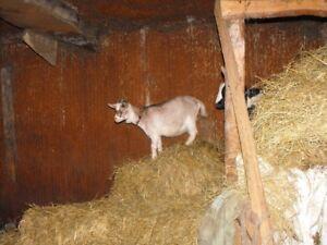 chèvres à vendre