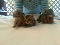 Bengal ctas for sale