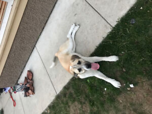 Beautiful 8 month old Great Pyrenees X Presa/Mastiff puppy!