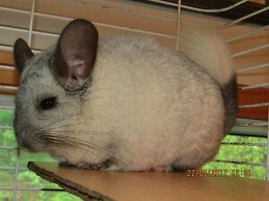 chinchilla, mâle  de couleur White Mosaïque,née 30 nov.2011