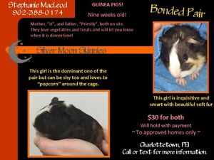 Bonded Baby Female Guinea pigs