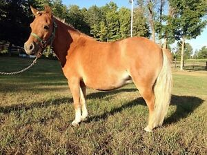 4 yrs old miniture mare for sale Cornwall Ontario image 1
