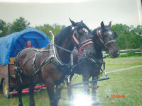 Pair of Percheron Horses