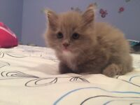 Solid Mitted Lilac Ragdoll Kittens