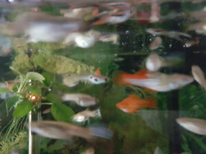 30 swordtails for sale ,