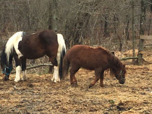 Ponies for Sale