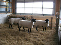 Registered Dorset and Suffolk Sheep for Sale