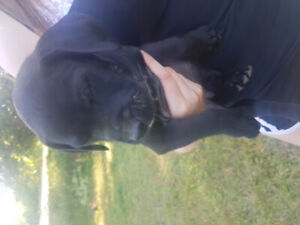 Beautiful mastiff cross puppies