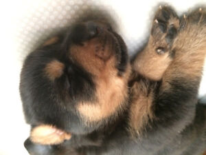 German shepherd / Rottweiler mix puppies