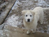 Great Pyrenees Cross pup for sale