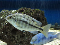 Selling some Female Peacock cichlids