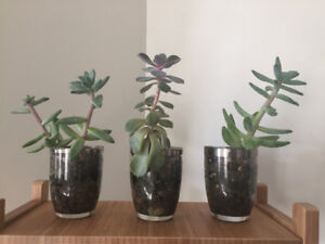 Set of 3 potted succulents