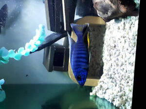 Nicely Colored Electric Blue Ahli Males