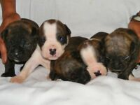 BELZ Kennels has OLDE ENGLISH BULLDOGGE babies available!!!