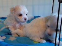 BEAUX BÉBÉS BICHONS MALTAIS, BEAUTIFUL MALTESE PUPPIES