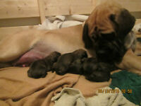 BEAUTIFUL PUREBRED ENGLISH MASTIFF PUPPIES