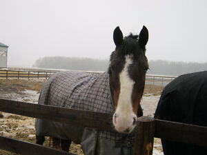Gorgeous and calm Clyde cross mare