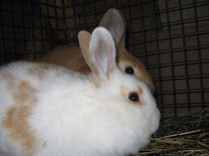 New Zealand Red Young Male Rabbits